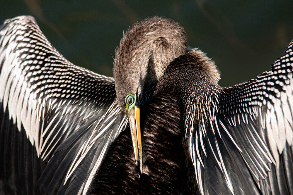 Anhinga by Eileen Cohen