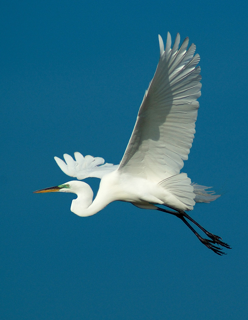 Great Egret in flight by Fred Breitwieser