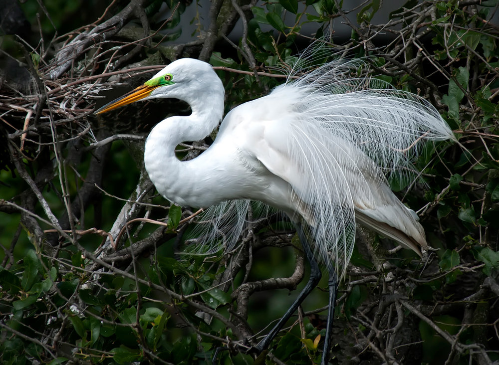 Great Egret in breeding plumage by Eileen Cohen