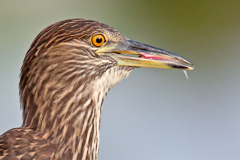 Juvenile Black-crowned Night Heron by John Hazard