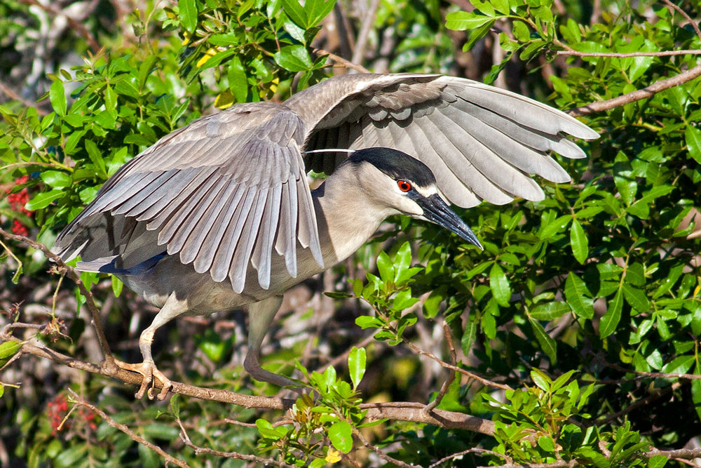 Black-crowned Night Heron by Sal Catizone