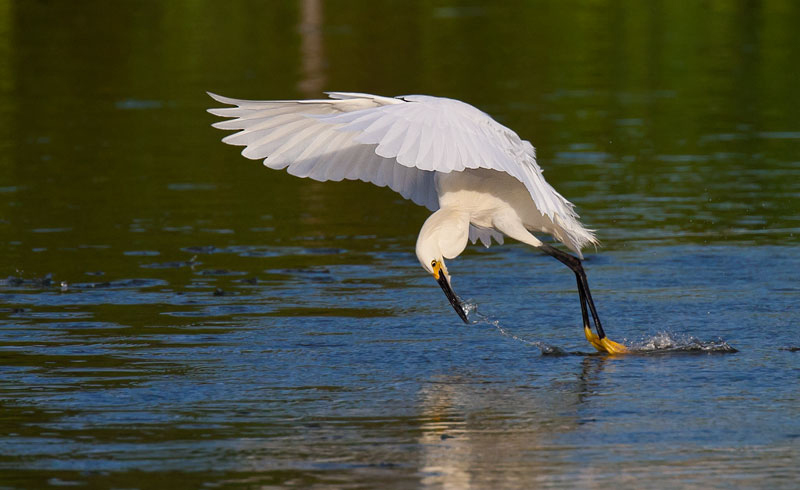 Snowy Egret fishing by John Hazard