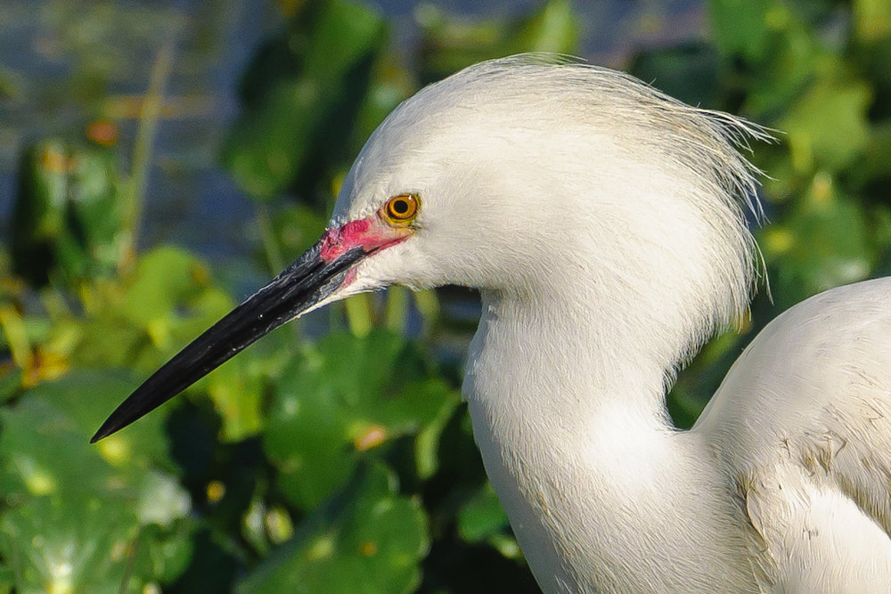 Snowy Egret closeup by Fred Breitwieser