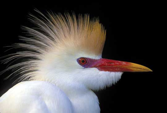 Cattle Egret in breeding plumage by Arthur Morris