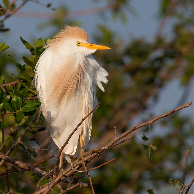 Cattle Egret by John Hazard