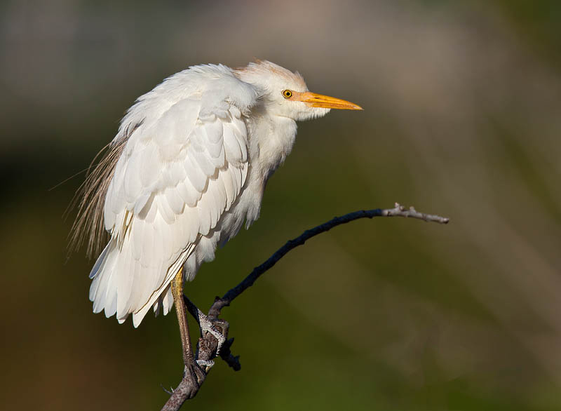 Cattle Egret on a branch by John Hazard