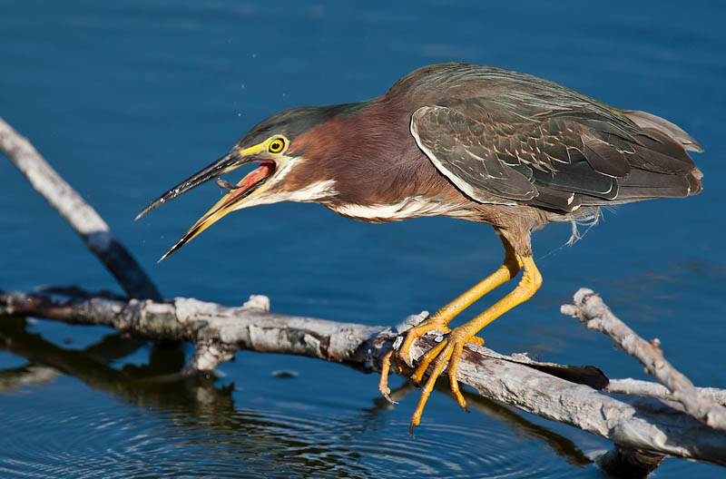 Green Heron fishing by John Hazard
