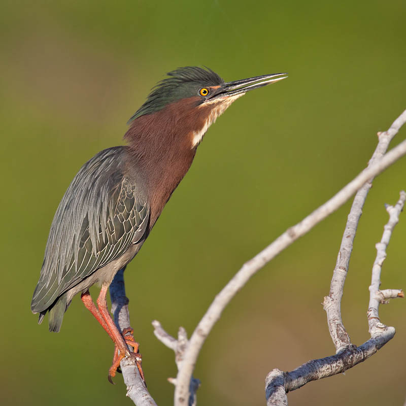 Green Heron by John Hazard
