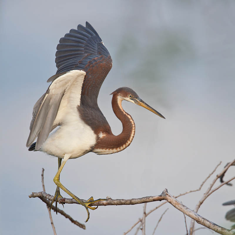 Tricolored Heron fledgling by John Hazard