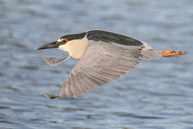 Black-crowned Night Heron in flight by John Hazard