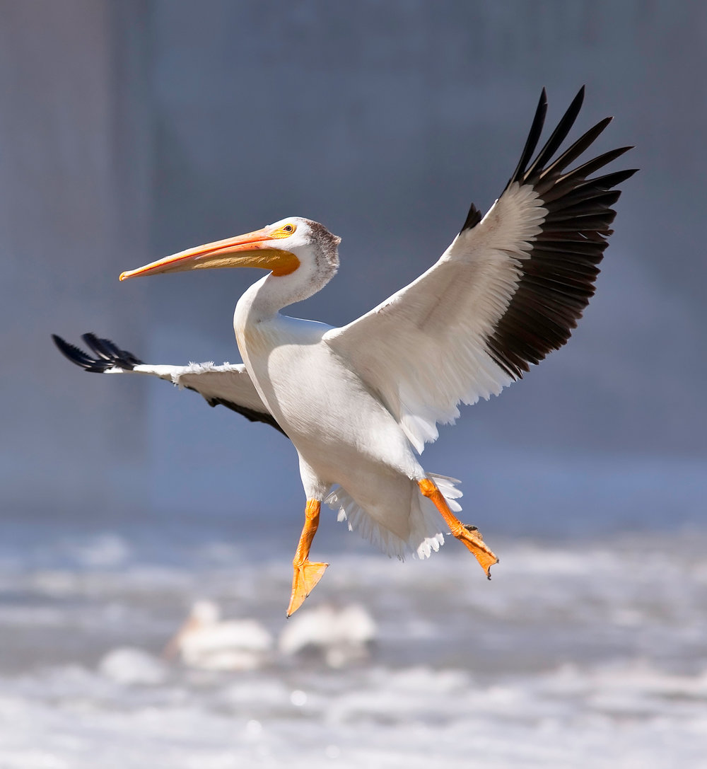 American White Pelican  Ken Gillespie/Flickr Creative Commons