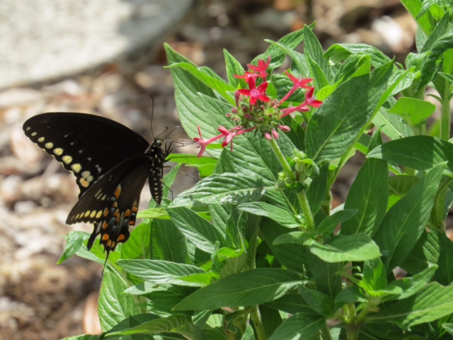 Black Swallowtail on a Penta plant in the VAAS Butterfly Garden  By Richard Holder
