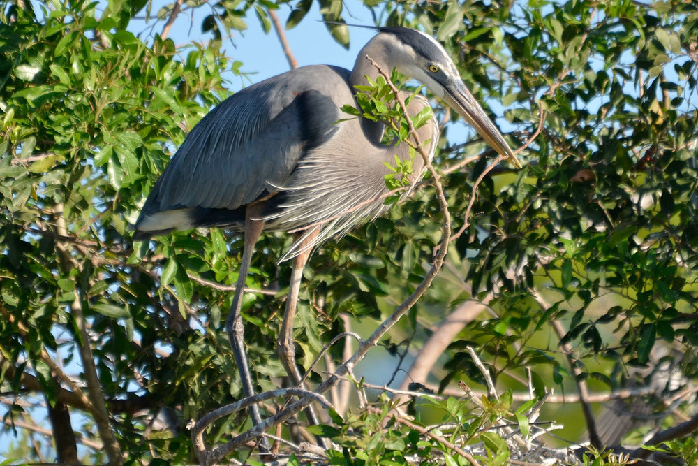 Great Blue Heron on a nest  Paul Newhart