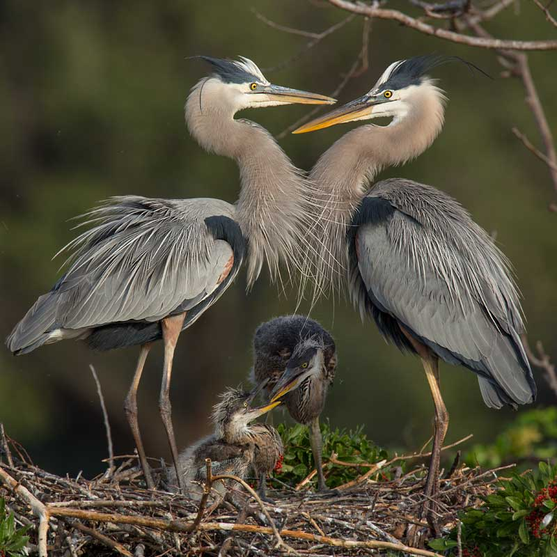 Great Blue Heron chicks  John Hazard