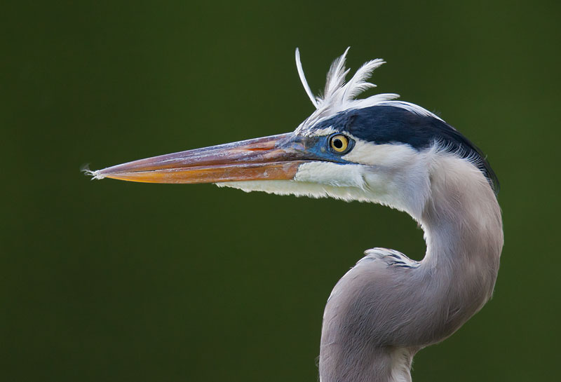 Great Blue Heron  John Hazard