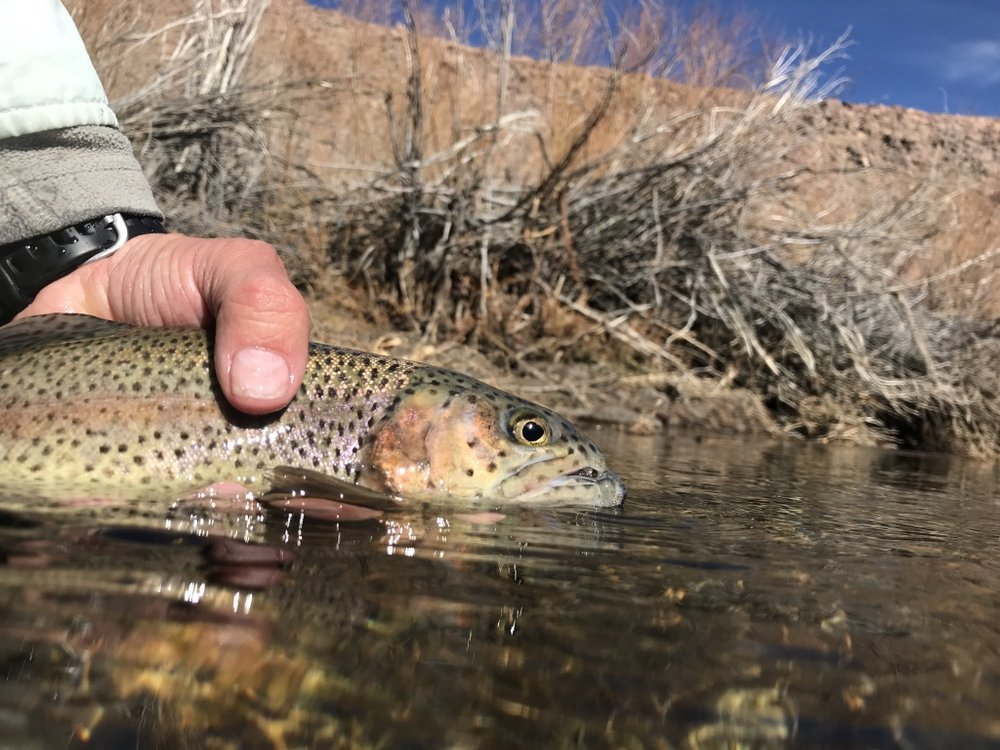 Mid-winter is prime time to pursue migrating rainbows in the power plant section of the lower Owens River.