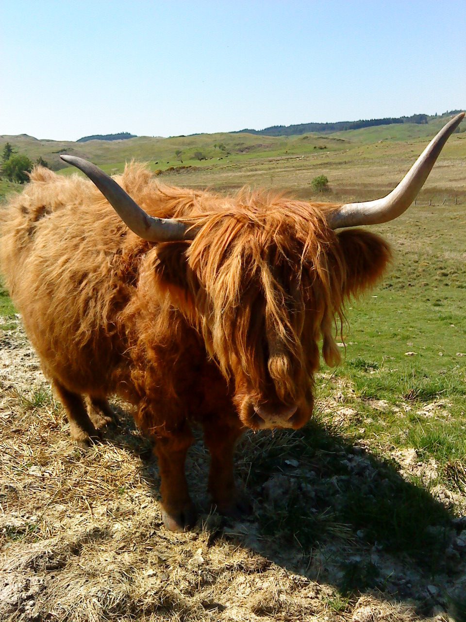 Highland cow -  Tour & Walk in small groups - Roaming Scotland..jpg