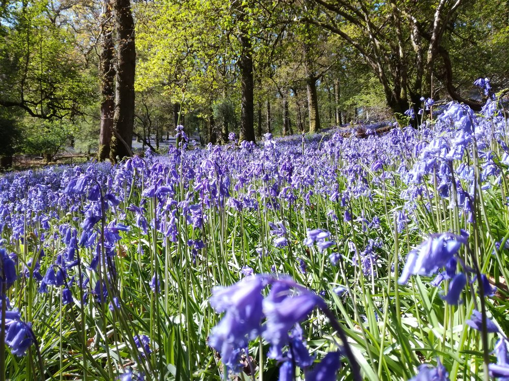 Bluebell woods, Inch Cailleach, Loch Lomond -  Tour & Walk in small groups - Roaming Scotland.jpg