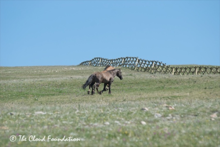 Fence and stallions atop Pryor Mountains, June 201