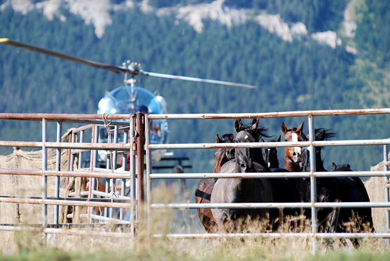 Grumpy Grulla, Chalupa, Sierra and others in Trigger's band. Commissary Ridge, September 2009