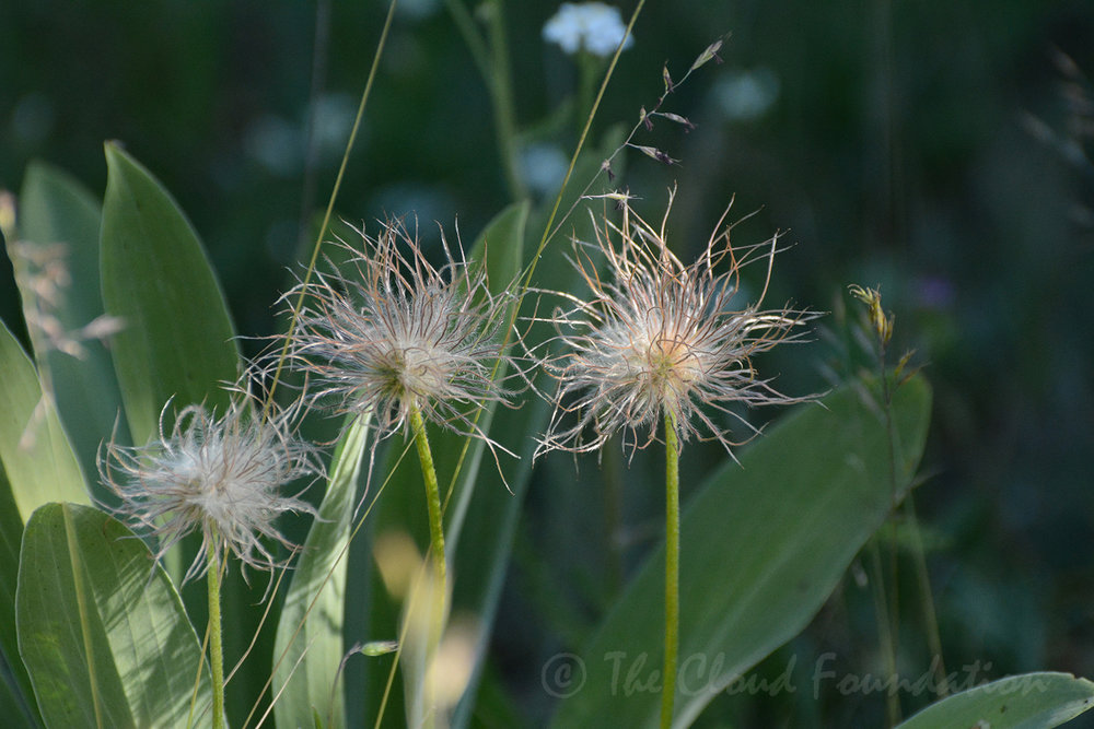 Pasque flowers gone to seed