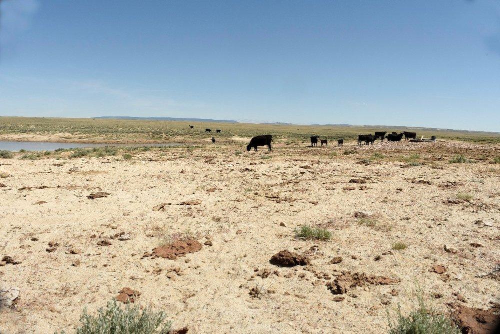 (Below; cattle at a waterhole-Stewart Creek HMA)