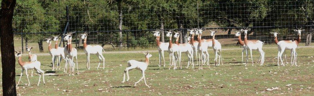 Delicate Dama Gazelles