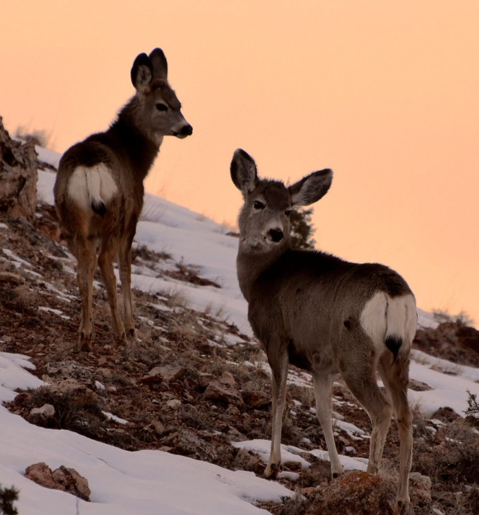 Mule Deer at sunset in the Dryhead near the lake