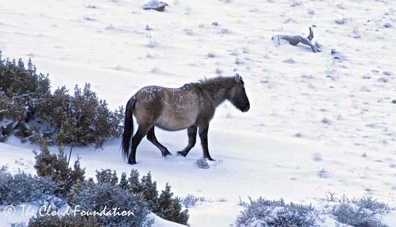 Bachelor stallion Hidatsa