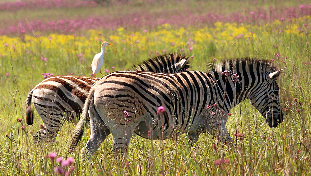 Zebra-with-bird-at-Rietvlei_REV.jpg
