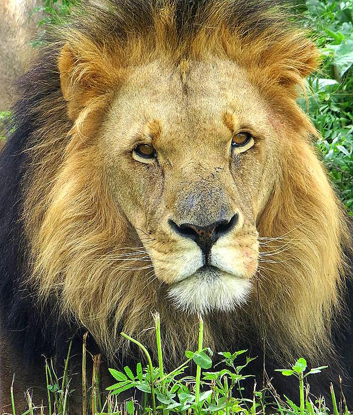 Male-lion_REV.jpg