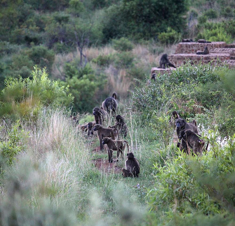 Baboon-troop-in-Pilanesberg_REV.jpg