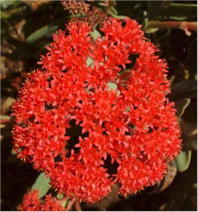 Plants-Aus-FL-Correa-pulchella-20040105-Kind-sm.jpg
