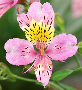 Alstroemeria hybrid