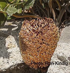 Banksia repens