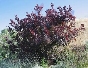 Cotinus coggygria 'Purpureus'