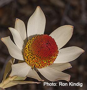Leucadendron discolor 'Pom Pom'