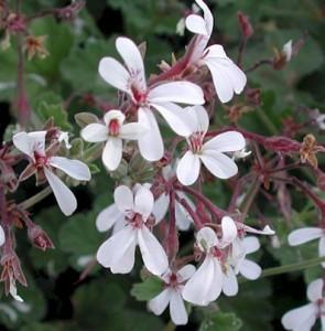 Pelargonium 'Nutmeg'