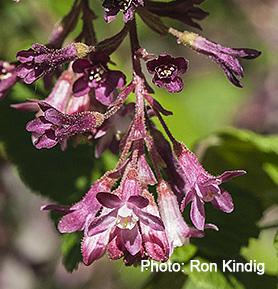 Ribes sanguineum 'Mesa Rose'
