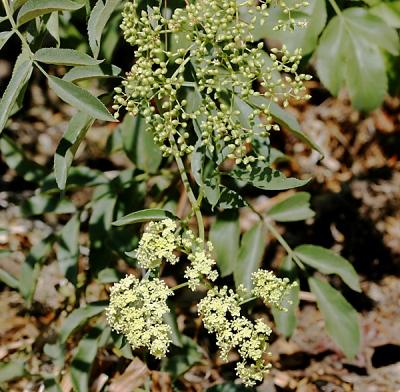 Sambucus nigra subsp. caerulea