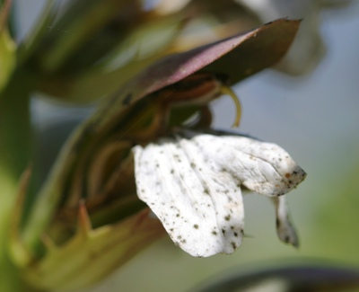 Acanthus-mollis.jpg