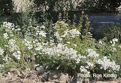 Achillea-millefolium.jpg