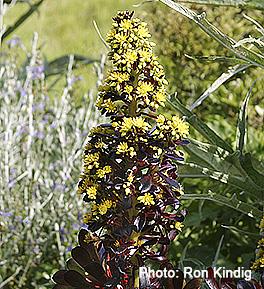 Aeonium-arboreum 'Atropurpureum'2.jpg