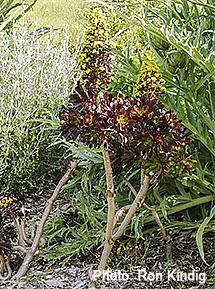 Aeonium-arboreum 'Atropurpureum'.jpg