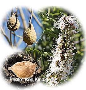 Aesculus-californica2.jpg