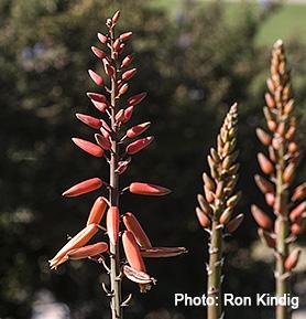 Aloe-plicatilis2.jpg