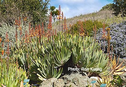 Aloe-plicatilis.jpg