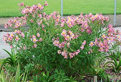 Alstroemeria-hybrid.jpg