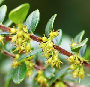 Azara-microphylla2.jpg