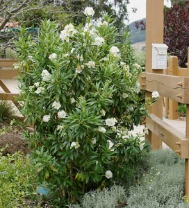 Carpenteria-californica.jpg